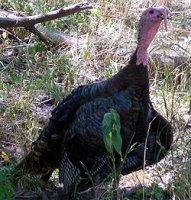 250px-meleagris_gallopavo_wild_turkey.jpg